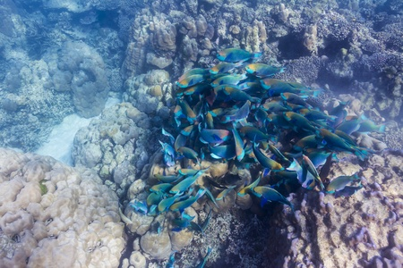School of parrotfish at Surin national park Stock Photo - 16881591