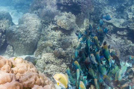 School of parrotfish at Surin national park Stock Photo - 16881585