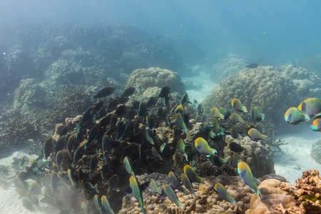 School of parrotfish at Surin national park Stock Photo - 16881580