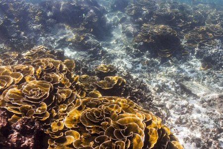 Lettuce coral at Surin national park photo