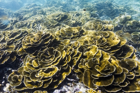Lettuce coral at Surin national park