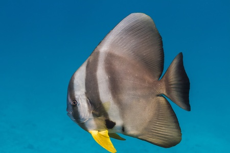 Teira batfish at Surin national park photo