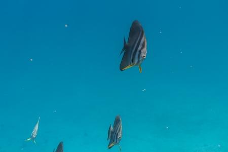 platax: Teira batfish at Surin national park