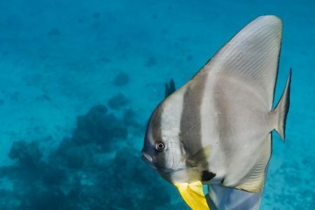 Teira batfish at Surin national park Stock Photo - 16881640