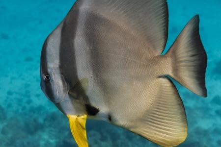Teira batfish at Surin national park photo