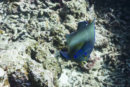 Semicircle angelfish at Surin national park photo