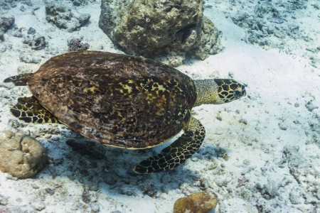 Hawksbill sea turtle at Similan national park photo