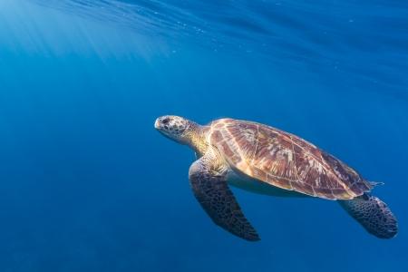 Hawksbill sea turtle at Similan national park