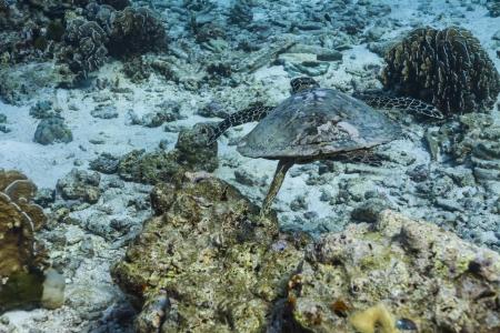 Hawksbill sea turtle at Similan national park photo