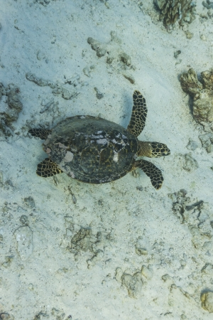 Hawksbill sea turtle at Similan national park Stock Photo - 16952759