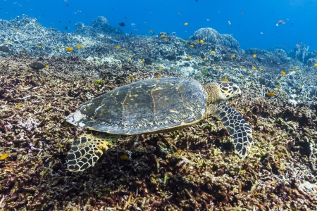 Hawksbill sea turtle at Similan national park Stock Photo - 16952799