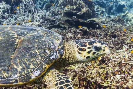 Hawksbill sea turtle at Similan national park Stock Photo - 16952776