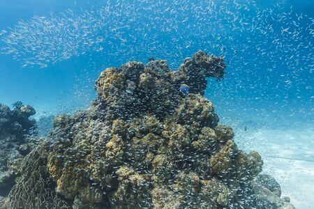 School of cardinalfish at Similan national park photo