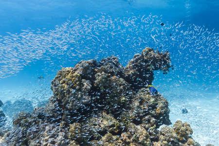 surin: School of cardinalfish at Similan national park