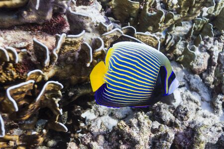 Emperor angelfish at Similan island Stock Photo - 17036173