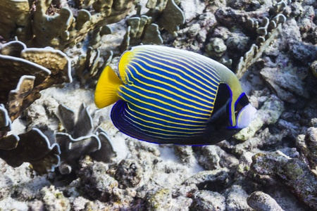 Emperor angelfish at Similan island Stock Photo - 17036171