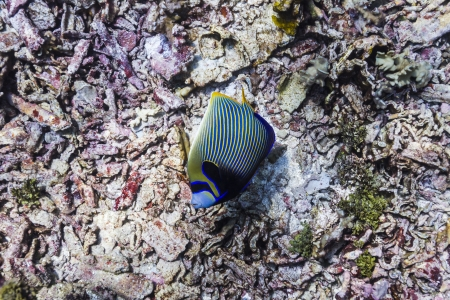 Emperor angelfish at Similan island Stock Photo - 17036189