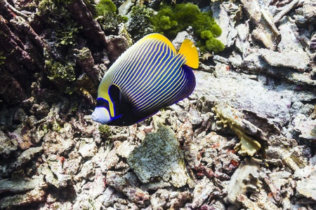 Emperor angelfish at Similan island Stock Photo - 17036187