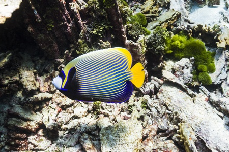 Emperor angelfish at Similan island photo