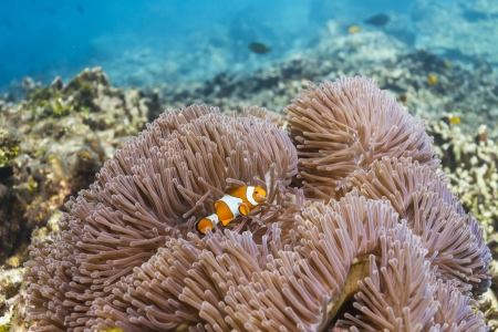 Anemonefish at Similan island in Thailand Stock Photo - 17046056