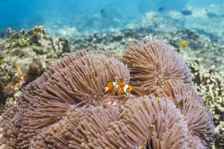 Anemonefish at Similan island in Thailand Stock Photo - 17046060