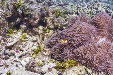 Anemonefish at Similan island in Thailand Stock Photo - 17046061
