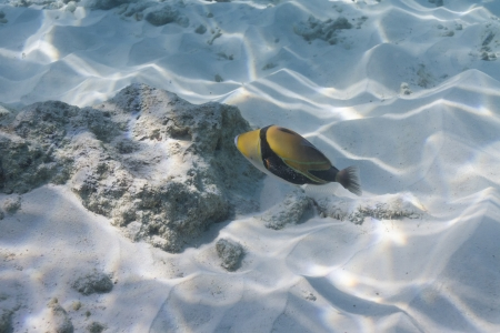 Picasso triggerfish at Similan national park photo