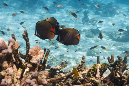 balistoides: Collared butterflyfish at Similan national park in Thailand