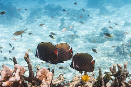 balistoides conspicillum: Collared butterflyfish at Similan national park in Thailand