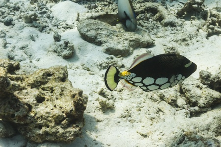 balistoides: clown triggerfish at Similan national park in Thailand