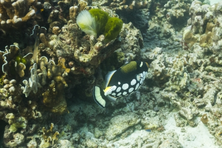 conspicillum: clown triggerfish at Similan national park in Thailand