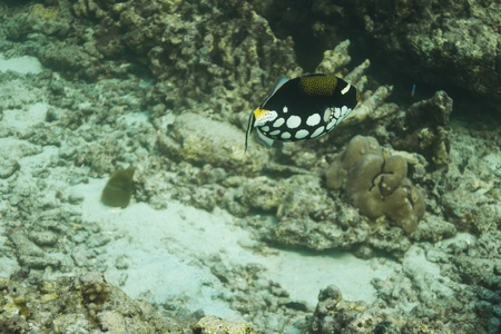 clown triggerfish at Similan national park in Thailand Stock Photo - 17134096