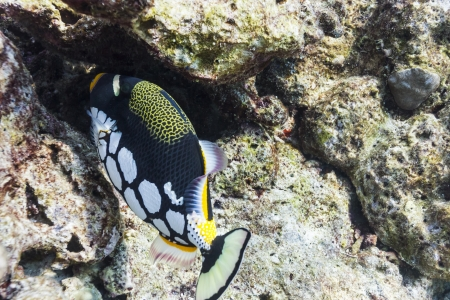 balistoides conspicillum: clown triggerfish at Similan national park in Thailand
