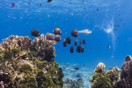 Collared butterflyfish at Similan national park in Thailand Stock Photo - 17134121