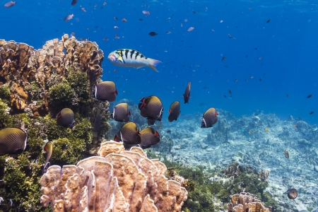 Collared butterflyfish at Similan national park in Thailand Stock Photo - 17134100