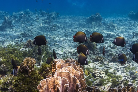 Collared butterflyfish at Similan national park in Thailand