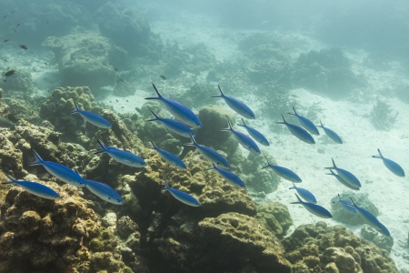 Blue and gold fusilier  at Similan national park Stock Photo - 17174595