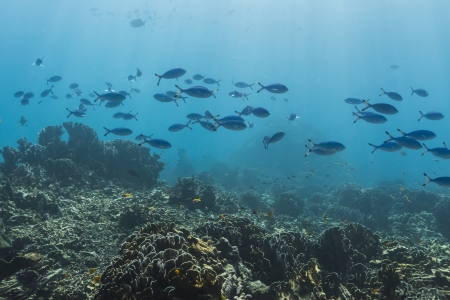 Blue and gold fusilier  at Similan national park Stock Photo