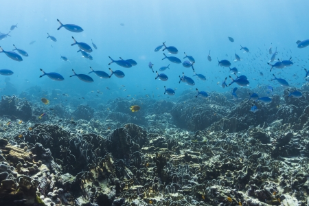 Blue and gold fusilier  at Similan national park Stock Photo - 17174639