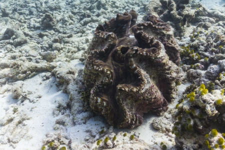 Giant clam at Similan national park in Thailand photo