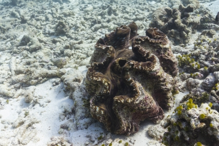 great barrier reef marine park: Giant clam at Similan national park in Thailand