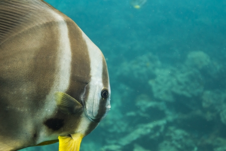 Teira batfish at Surin island photo