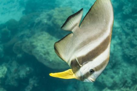 platax: Teira batfish at Surin island
