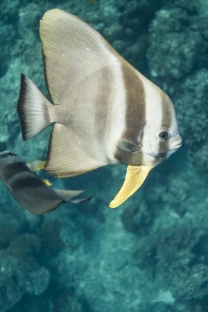 Teira batfish at Surin island photo