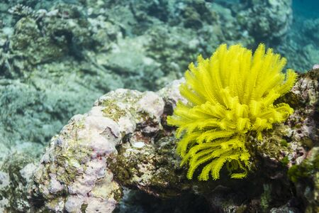 Yellow feather star at Surin national park photo