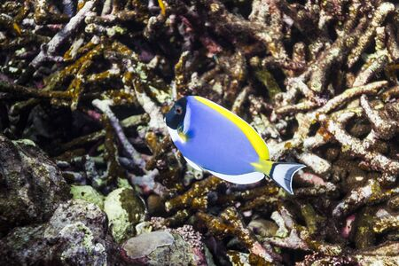 Powder blue tang at Surin island Stock Photo - 17601425