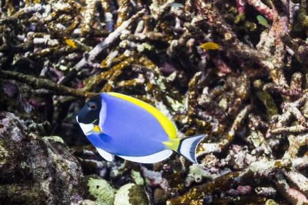 Powder blue tang at Surin island Stock Photo - 17601422