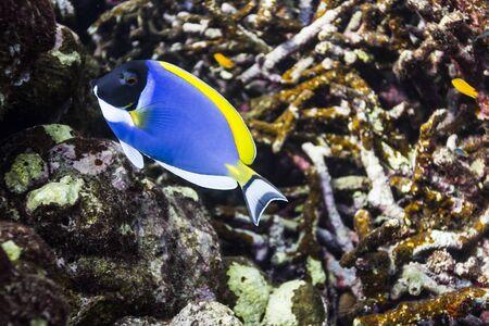 Powder blue tang at Surin island Stock Photo - 17601421