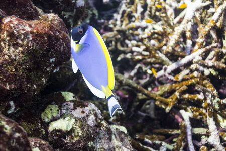 Powder blue tang at Surin island photo