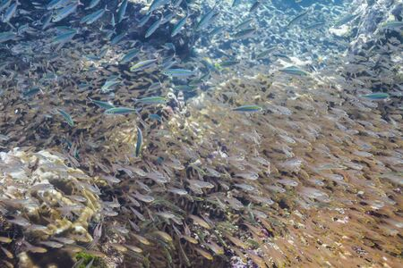 School of cardinalfish at Surin island photo